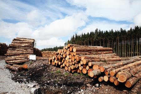 logging: Forest pine trees log trunks felled by the logging timber industry