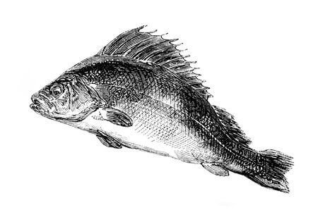 perch: An engraved vintage fish illustration image of a common perch, from a Victorian book dated 1857 that is no longer in copyright
