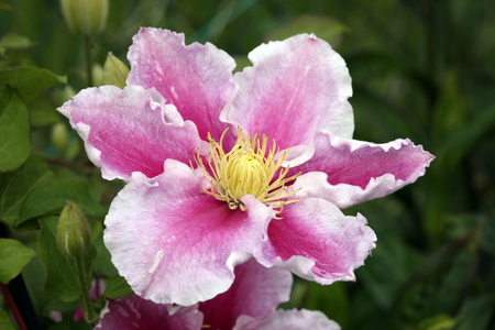 herbaceous: Clematis Piilu a pink hybrid cultivated herbaceous perennial garden flower climbing shrub Stock Photo