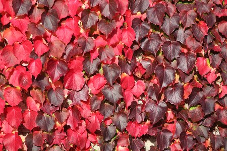 autumn colour: Virginia Creeper background in red full autumn colour growing on garden wall