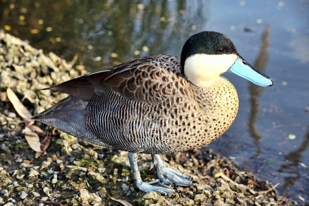 versicolor: Puna Teal (Anus Versicolor puna) duck which is found in South American countries