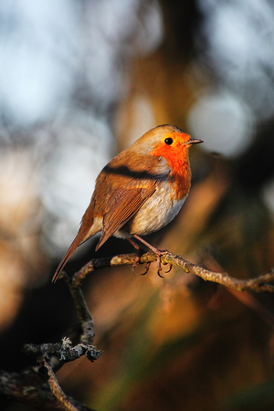 erithacus: Robin redbreast ( Erithacus rubecula) on a branch of a winter woodland tree