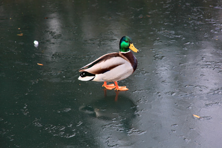 dabbling: Male Mallard duck (Anus platyrhynchos) or wild duck on a frozen lake Stock Photo