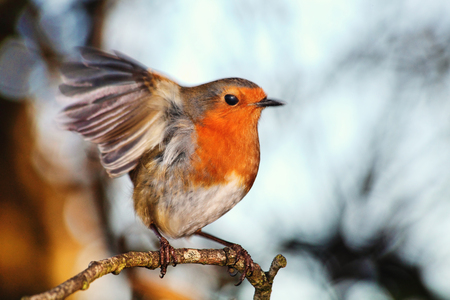 Robin redbreast ( Erithacus rubecula) on a branch of a winter woodland tree