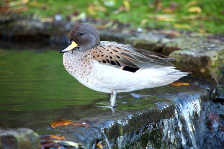 dabbling: Sharp Winged Teal (Anus flavirostris oxyptera) duck which is found in South American countries