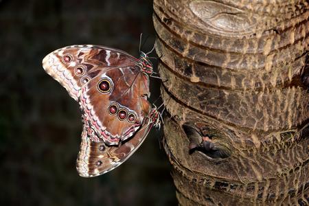 Blue Morpho (Morpho peleides) tropical butterflies mating on a tree trunk Stock Photo