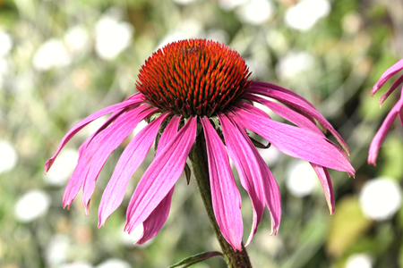 hardy: Echinacea Purpurea (Coneflower) a common hardy purple or white perennial, which as a herb is used to stimulate the immune system and has anti depressant properties