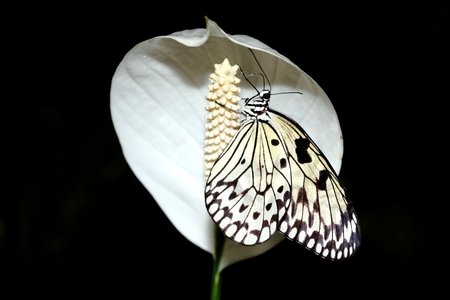 Idea leuconoe commonly known as the large tree nymph butterfly on a white peace lily flower Stock Photo