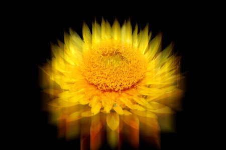 flowerhead: Helichysum (yellow) with reflection which is a common perennial flower sometimes called Everlasting Stock Photo