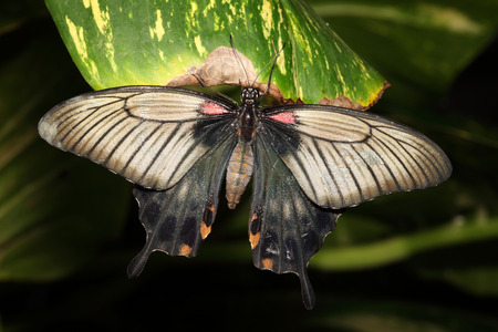 Tropical swallowtail butterfly resting on a green leaf