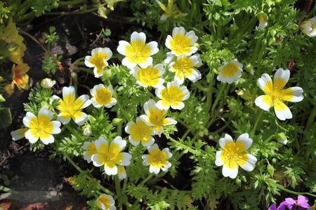 半熟卵植物、(Limanthes douglasii) 一般的な年次庭花春夏と秋の中で育つ植物 写真素材