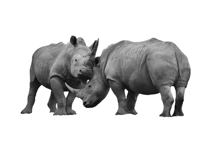 oversized: Two rhinoceros fighting cut out and isolated on a white background black and white monochrome image