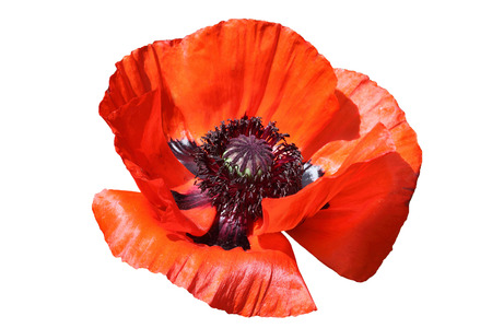 Oriental red poppy cut out on and isolated on a white background Stock Photo
