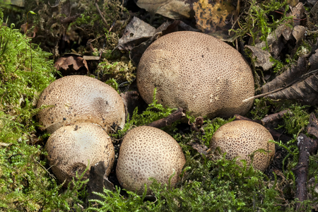Common Earthball fungi (Scleroderma citrinum) a round ground woodland mushroom