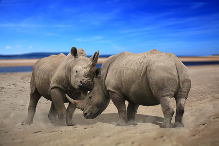 Two rhinoceros fighting head to head