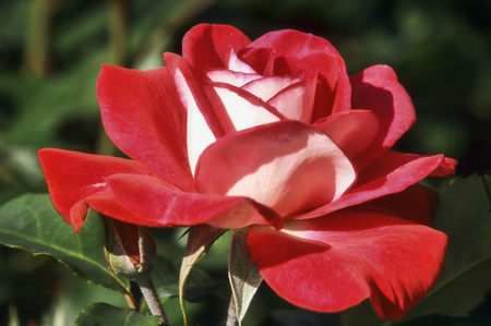 Rose Molly McGredy which has red and white petals