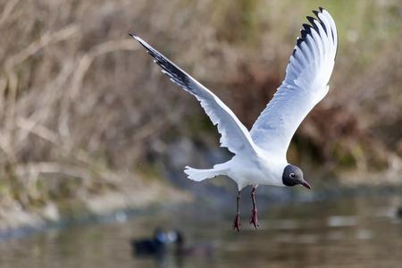 Black headed Gull ( Larus ridibundus) in flight which is a common seagull sea bird