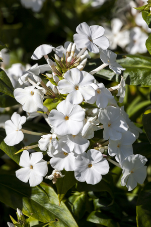 Phlox carolina Miss Lingard an herbaceous springtime summer flower plant Stock Photo