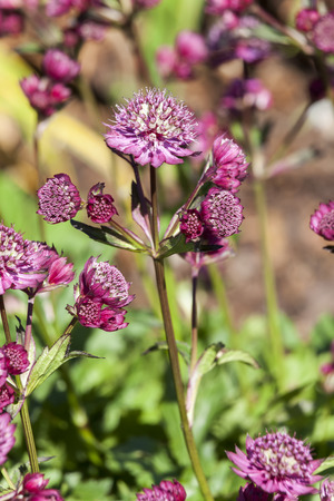 Astrantia major 'Abbey Road' an herbaceous perennial springtime summer flower plant commonly known as great masterwort Standard-Bild - 114113585