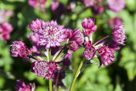 Astrantia major 'Abbey Road' an herbaceous perennial springtime summer flower plant commonly known as great masterwort Standard-Bild - 114113591