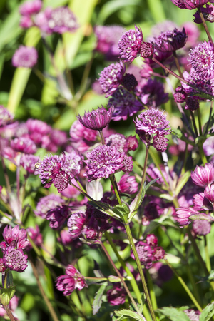 Astrantia major 'Abbey Road' an herbaceous perennial springtime summer flower plant commonly known as great masterwort Standard-Bild - 114113595