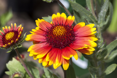 Gaillardia 'Arizona Sun' a spring summer flowering plant commonly known as blanket flower