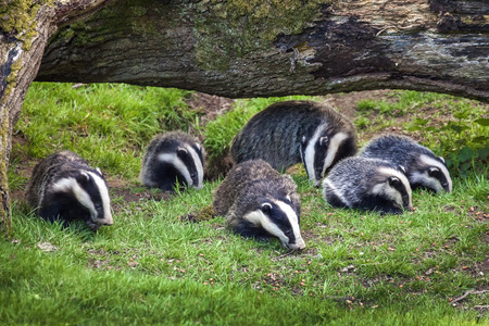 Badger sow and cubs family feeding in a woodland forest 免版税图像