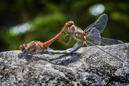 Common Darter orange dragonfly insect mating on a springtime summer garden wall Standard-Bild - 112456065