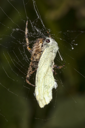 Common Garden Spider with a Cabbage White Butterfly which it has caught in its web for a meal Standard-Bild - 112519511