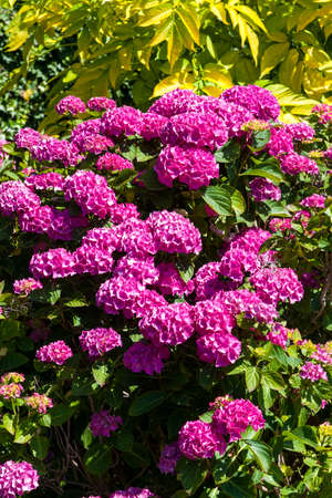 Pink hydrangea macrophylla in full flower blossom which is a spring and summer flowering shrub perennial herbaceous flower plant 免版税图像