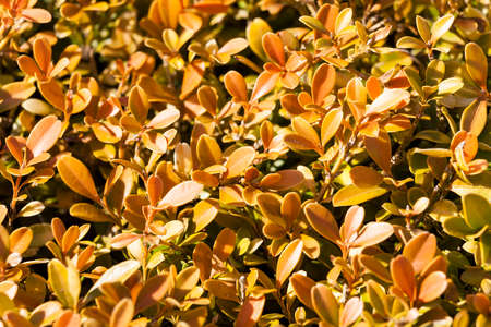 Buxus Microphylla in its winter colour which is an evergreen bush known as common box or boxwood