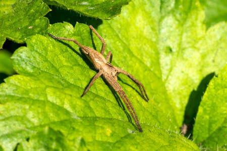 Pisaurina mira (Nursery web spider) a common garden and meadow insect stock photo image