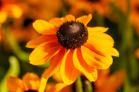 Rudbeckia hirta 'Toto' a yellow orange herbaceous perennial summer autumn flower plant commonly known as Black Eyed Susan or Coneflower stock photo image Archivio Fotografico