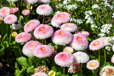 Pink Bellis perennis a common herbaceous pompom double daisy perennial hardy garden flower plant growing during the springtime flowering season, stock photo image