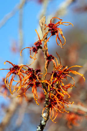 Hamamelis x Intermedia 'Jelena' (Witch Hazel) a winter spring flowering tree shrub plant which has a highly fragrant springtime yellow flower and leafless when in bloom stock photo image