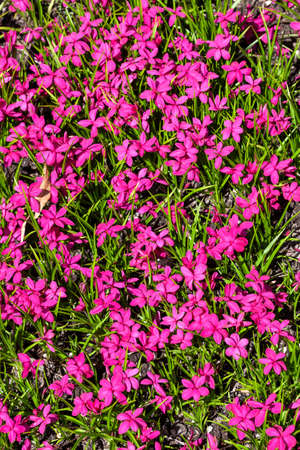 Rhodohypoxis milloides 'Claret' a flowering bulbous plant with a pink red springtime flower commonly known as spring starflower, stock photo image