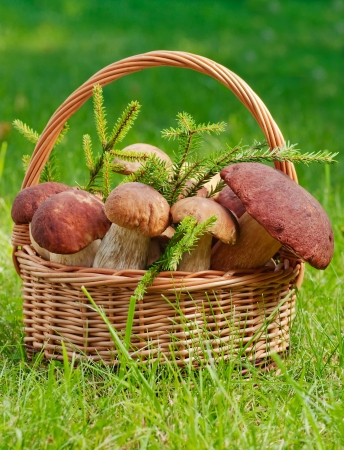 Basket full of huge mushrooms with firtree branches
