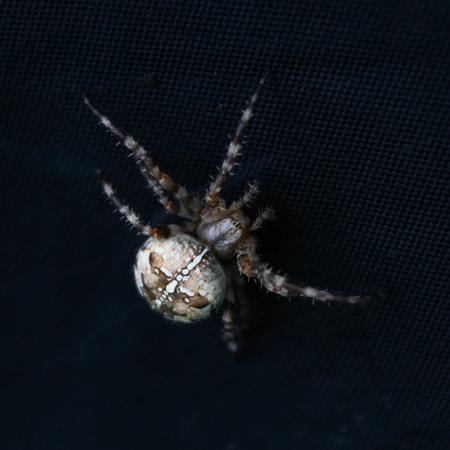 arachnidae: Araneus spider on black texture? macro close-up