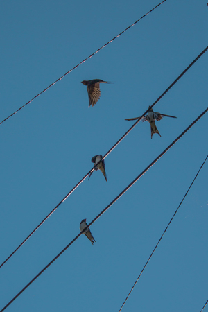 warble: swallows in the sky on power lines