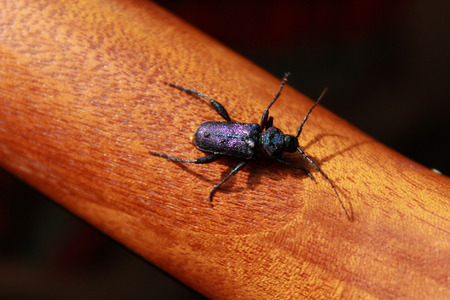 cerambycidae: Callidium violaceum is a species of beetle in the Cerambycidae family on guitar neck