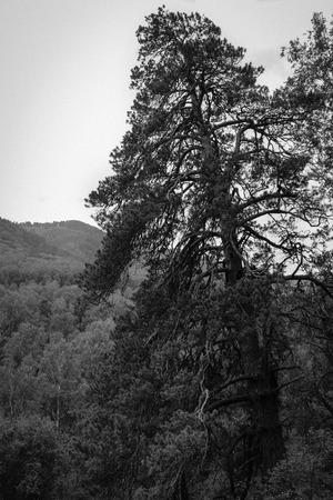 verbs: monochrome pine tree in mountains