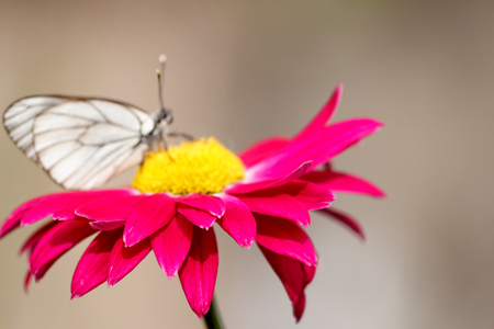 One white butterfly on a red flower on a summer day outside Photo