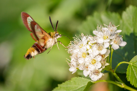 One hornworm moth-hawk in flight over the flower looking for nectar on a summer day