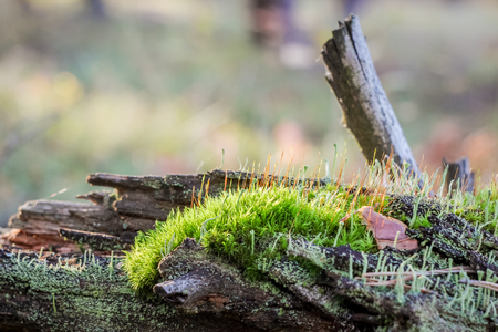 Natural still life in a spring forest with different types of moss and plants on the surface of an old snag tree as a background with variable focus