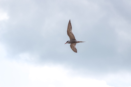 Hungry tern flying against the cloudy sky in front of a thunderstorm