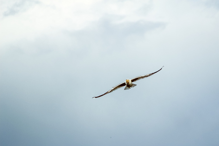 Hungry Seagull flying against the cloudy sky before a thunderstorm with a large piece of bread in its beak Stock Photo