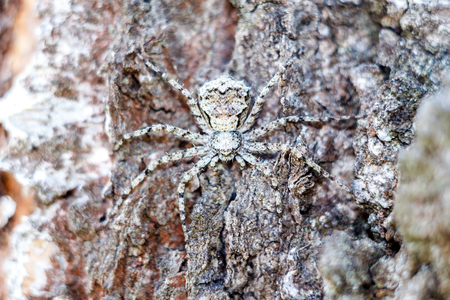 A masked spider in close-up hides like a spy on the bark of a tree. Texture and copyspace.