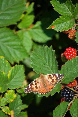 A red admiral butterfly rests on a leaf by some berries. photo