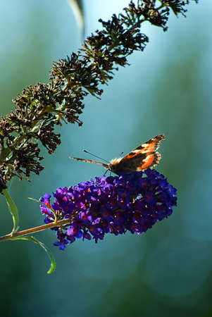 A red admiral butterfly rests and feeds from a lovely purple flower. photo