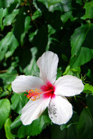 An image of a white hibiscus set against a background of green foilage. photo